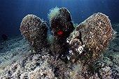 Penn Shells on sea bottom Porto Conte Sardinia Italia