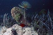 Penn Shell and Spirograph worm Porto Conte Sardinia Italia