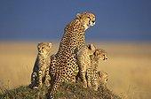 Female Cheetah and 5 month old youngs Masaï Mara Kenya