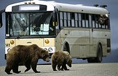 Brown bear cub and its mother crossing a track Alaska