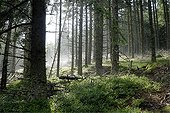 Clearing of cut in a Fir plantation Ardeche France