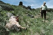 Breeder discovering his calf killed by the bear Boutxy ; Localization: Plate of beille, near Ax les thermes, in haute Ariège; june 2000. The four year old bear evicerated the calf ate the liver and heart leaving the carcass with the intention of finishing his dinner the next night.