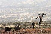 Chèvre domestique Fuerteventura Canaries