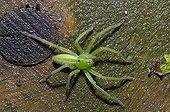 Green huntsman spider female on a wet stump France
