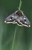 Female Emperor moth on a stem grass Ain France ; At rest, the ocelles of the former wing and the brown dark thorax remind the eyes and the muzzle of a small mammal, which dissuades the birds to attack.