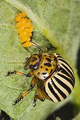 Colorado beetle on Potato with its eggs France