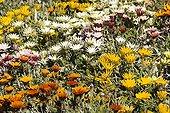 Gazanias horticultural Canary Islands