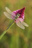 Yellow-legged clubtail on a Pyralidal orchid at daybreak