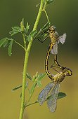 Yellow-legged clubtails mating Switzerland