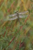 Yellow-legged clubtail covered with dew on a Field sagewort