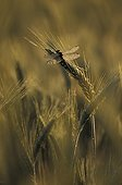 Yellow-legged clubtail at daybreak in a barley field