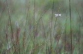 Yellow-legged clubtail on a stem Switzerland