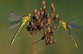 Yellow-legged clubtails on a Gramineae Switzerland