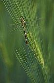 Yellow-legged clubtail on Barley Switzerland