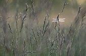 Yellow-legged clubtail in a meadow at daybreak Switzerland