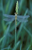 Yellow-legged clubtail covered with dew on a Gramineae