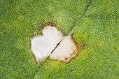 Pseudocercosporella on a leaf of Colza France