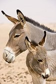 Aness and foal Desert of Tenere Niger