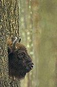 European Bison hidden by trees in Poland
