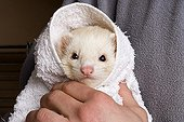 Portrait of a Ferret in a towel France
