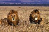 Lions in savanna Masaï Mara Kenya