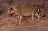 Lioness going in dust Kalahari Gemsbok National Park