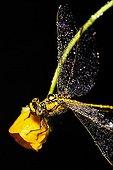 Yellow-legged Clubtail on a Buttercup Switzerland