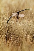Yellow-legged Clubtail in a Barley field Switzerland