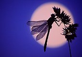 Dragonfly at moonlight Switzerland ; Image selected at Montier-en-Der Festival 2006