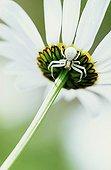 Femelle Goldenrod spider under a Daisy Switzerland