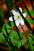 Thimbleweed under Souringrush Horsetails France