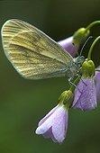 Wood White on a Cuckoo flower Switzerland