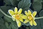Fig buttercup flowers covered with hoarfrost Switzerland