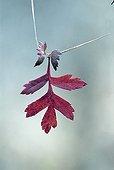 Hawthorn leaf fallen on a grass bit Switzerland