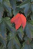 Boston Ivy and red leaf Switzerland