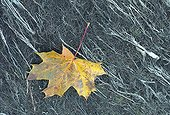 Leaf of Maple fallen on Rhone bank Switzerland