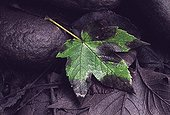 Leaf of Maple in dry river bed Switzerland
