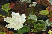 Leaves of Maple floating on a pond Switzerland