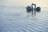 Couple of Mute Swan courtship behaviour Switzerland