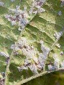 Détail d'un feuille de Vigne touchée par l'Oïdium France