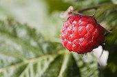 Ripe Raspberry France