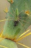 Green Lynx Spider with a captive prey on a cactus Arizona