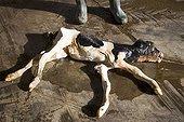 Aborted Prim'Holstein Calf France