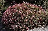 Schrubby Restaharrow in flowers France