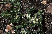Mandragore officinale poussant au sol France ; Site : Jardin botanique de Dijon