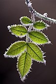 Leaf of Sweet Briar covered with frost