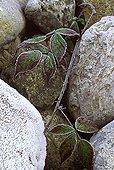 Bramble growing between pebbles