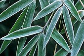 Leaves of Bamboo covered with frost
