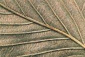 Detail of leaf's nevures