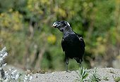 Thick-billed Raven holding an object in its nozzle Ethiopia